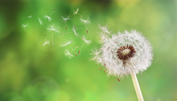 Dandelions: the Good, the Bad and the Ugly