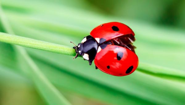 Ladybird, Ladybird!