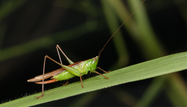 Are Crickets the Noisiest Insect?