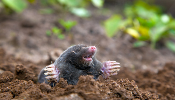 I am a Mole and I Live in a Hole