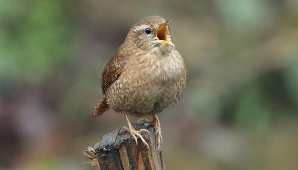 Understanding Birdsong