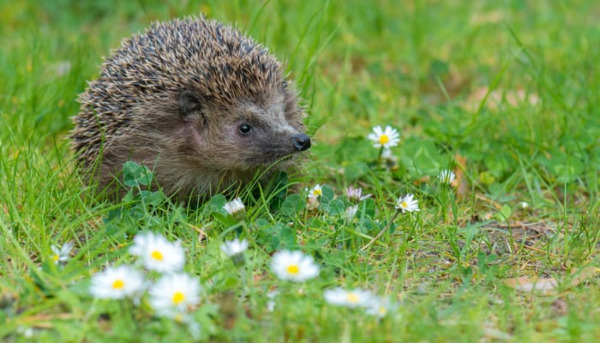 Help save the Hedgehog – He's Becoming Endangered!
