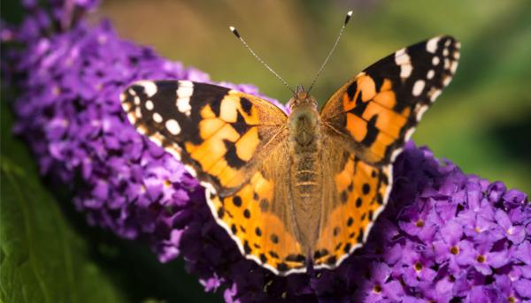 Garden Butterflies: How to Identify Them