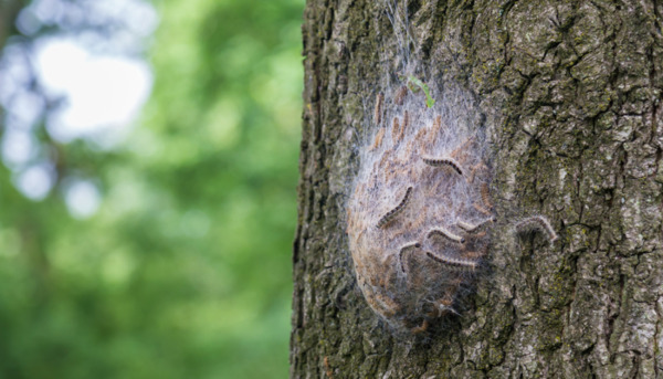 Beware the Oak Processionary Moth