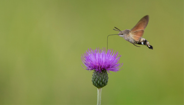 The Hummingbird Hawkmoth