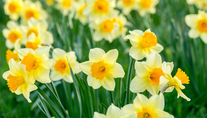 Wordsworth: The Daffodils